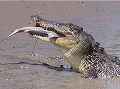 """Cá sấu nước mặn """"xử đẹp"""" cá mập bò trong chớp mắt"""