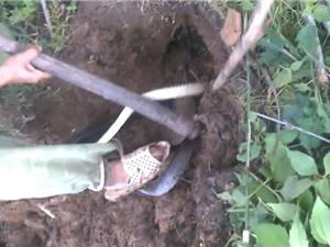 Clip: Đào hang bắt rắn hổ trâu ở Đăk Lăk