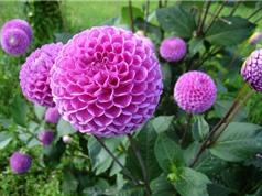 Hướng dẫn trồng và chăm sóc hoa thược dược
