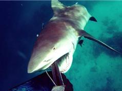 Clip: Cướp cá bất thành, cá mập khổng lồ quay sang tấn công người