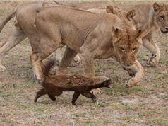 """Clip: Hai chú lửng mật """"xử đẹp"""" bầy sư tử"""