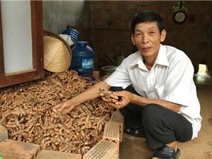 Một xã thu hơn 25 tỷ đồng từ cây nghệ vàng