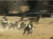 """Clip: Báo săn bị khỉ đầu chó đuổi """"chạy mất dép"""""""
