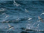 Clip: Bầy cá bay lên không trung để tránh kẻ địch truy sát