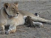 """""""Rớt nước mắt"""" nhìn cảnh sư tử cái cho báo con bú sữa"""