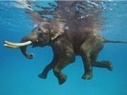 Hải quân cứu sống voi bị sóng cuốn trôi