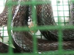 Clip: Dùng mồi cóc bẫy rắn hổ trâu