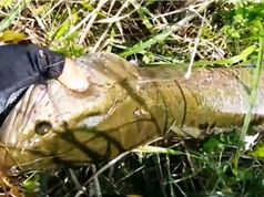 Clip: Cần thủ câu được cá lóc 5 kg ở hồ tự nhiên