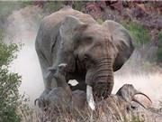 """Kinh hoàng cảnh voi """"điên"""" húc chết tê giác"""