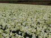 Vẻ đẹp của loài hoa có lịch sử lâu đời bậc nhất thế giới