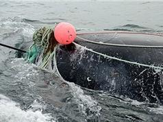 Cá voi mắc lưới giết chết ân nhân cứu mạng