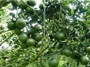 Hướng dẫn trồng và chăm sóc cây cam đúng kỹ thuật