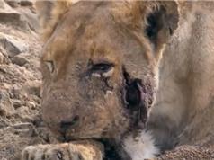 Clip: Sư tử chết thảm vì bị hà mã cắn rớt hàm