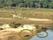 Clip: Liều lĩnh vượt sông, chó chết thảm trước hàm cá sấu