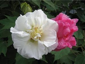 Vẻ mong manh của loài hoa tượng trưng cho người con gái hồng nhan bạc phận