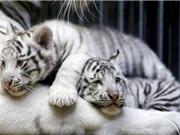 Hổ Bengal trắng sinh 4 ở Trung Quốc
