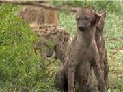 Clip: Kinh hoàng cảnh linh cẩu bị đồng loại cắn rớt tai