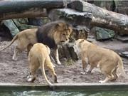 """Clip: Sư tử """"mắng chồng té tát"""" vì tội làm mất mồi"""