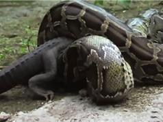 Clip: Cuộc tử chiến kinh hoàng giữa trăn khổng lồ và cá sấu