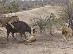 """""""Tận mục"""" màn xẻ thịt trâu rừng của bầy sư tử"""