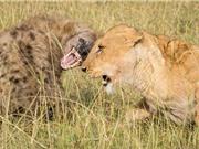 """Clip: Linh cẩu ăn no đòn vì cả gan """"gọi hội quây"""" sư tử"""
