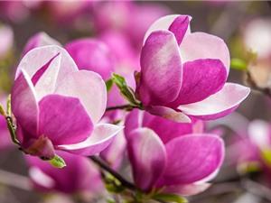 Cận cảnh vẻ đẹp của loài hoa lâu đời bậc nhất thế giới