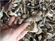 """1,5 triệu/kg nấm """"đặc sản của các loại đặc sản"""""""