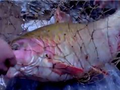 Clip: Câu được cá quý hiếm khổng lồ trên thượng nguồn sông Đà