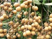 Quy trình trồng và chăm sóc cây nhãn cho quả sai trĩu trịt
