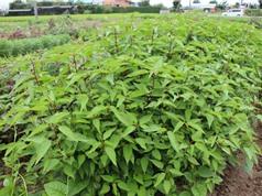 Rau đay: 'Thần dược' tuyệt vời từ lá đến hạt không phải ai cũng biết