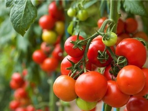 9 công dụng tuyệt vời của cà chua