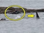 """Clip: Sợ """"xanh mặt"""" trước cảnh cá voi sát thủ rình bắt người"""