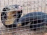 Clip: Bẫy được rắn hổ mang hơn 2 mét ở Hóc Môn