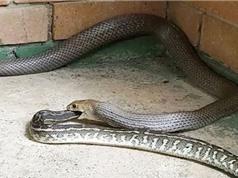 Kinh hoàng cảnh rắn độc thứ 2 thế giới nuốt chửng trăn