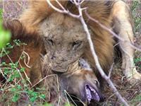 Clip: Linh cẩu con chết thảm trước sư tử đực