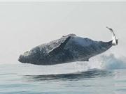 Clip: Cá voi nặng 40 tấn nhảy khỏi mặt nước