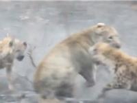 Clip: Sư tử cái trọng thương sau màn giao chiến với bầy linh cẩu