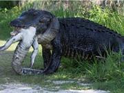 """Clip: """"Khiếp vía"""" trước cảnh cá sấu cố nuốt xác đồng loại"""
