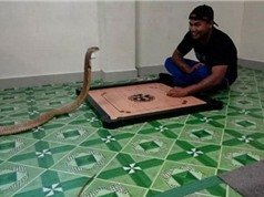 """""""Ngã ngửa"""" trước chuyện chàng trai cưới rắn hổ mang khổng lồ làm vợ"""