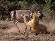 Clip: Linh dương đầu bò bỏ mạng vì dám thách thức sư tử