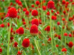 Chùm ảnh nét đẹp của loài hoa nở ngày