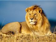 Cuba: Triệt sản sư tử đầu đàn để kiểm soát số lượng loài