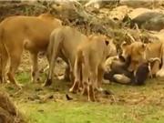 """Clip: Lợn bướu bị xé xác vì cả gan """"chống đối"""" sư tử"""