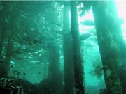 Phát hiện rừng bách 50.000 năm tuổi dưới đáy biển