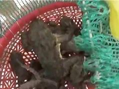 Clip: Dùng ốc bươu câu ếch cực kỳ hiệu quả tại Kiên Giang