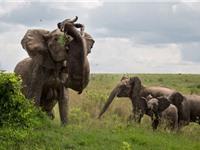 """Trâu rừng chết thảm vì bị """"voi điên"""" húc văng lên trời"""