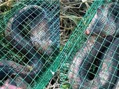 Clip: Bẫy rắn hổ mang tại Đông Anh, Hà Nội