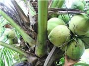 5 cách phân biệt dừa sáp Cầu Kè để tránh mua nhầm
