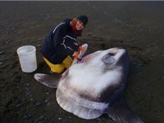 Phát hiện loài cá mặt trăng khổng lồ mới, nặng tới 2 tấn