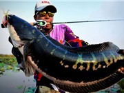 Clip: Câu được cá lóc bông khổng lồ trên hồ sen